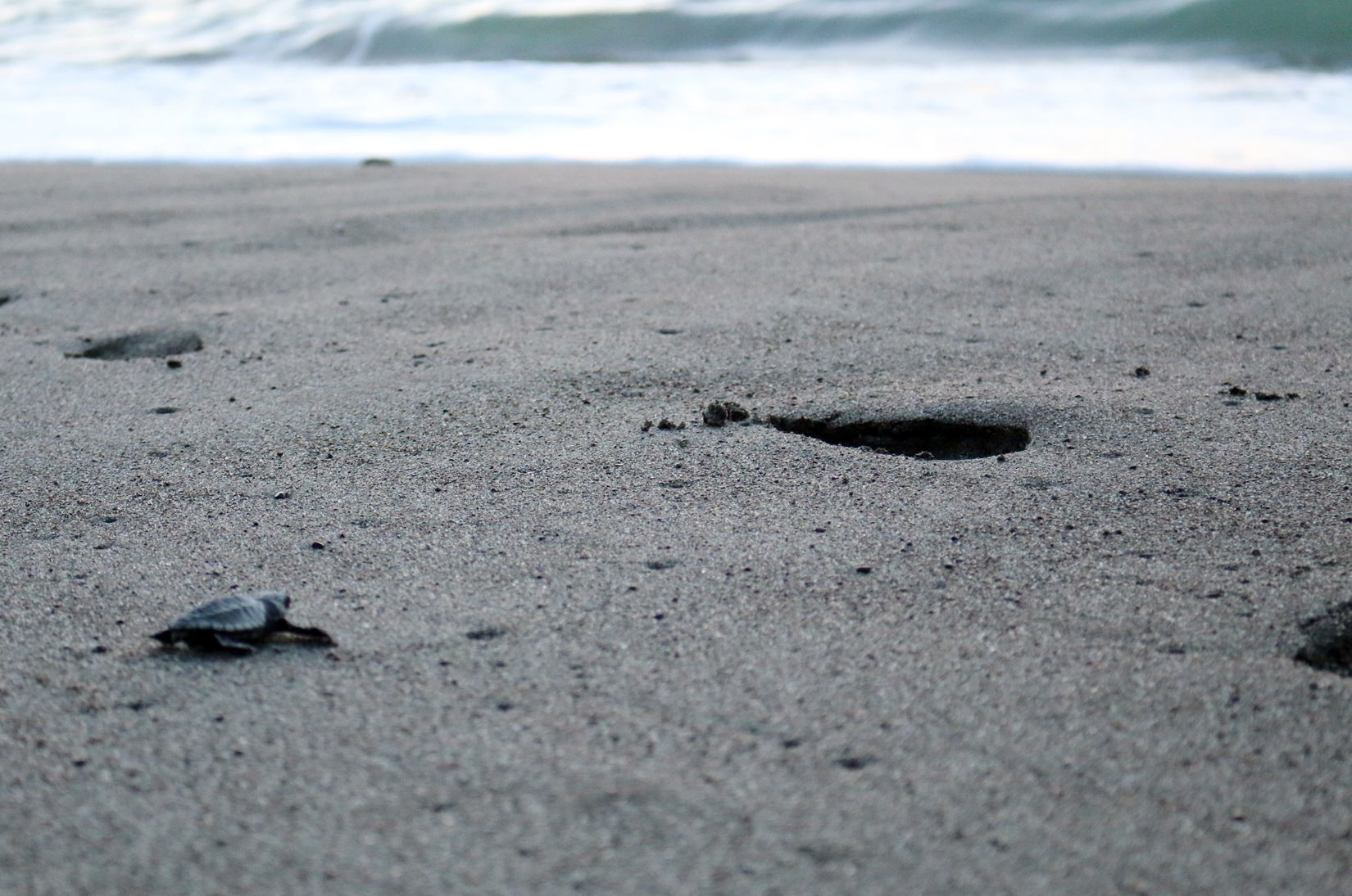 Sifcare science of identity foundation 583 baby sea turtles sent more are expected in the coming weeks so these next 2 months would be the best time to hit the beach and put care into action by helping baby sea turtles publicscrutiny Gallery